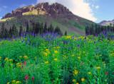 Flowers of Yankee Boy Basin, CO