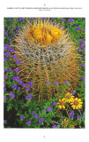Barrel Cactus, phacelia, and brittlebush, Arizona Highways Engagement Calendar, 2012