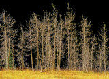 Highlighted trees, Maroon Valley, Aspen, CO