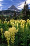 Bear grass, Logan Pass, Glacier National Park, MT