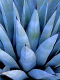Parry's agave, Sedona, AZ