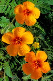 Summer poppies, Cottonwood, AZ