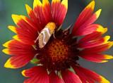 Skipper on gaillardia flower, Cottonwood, AZ