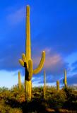 Saguaro Cactus, Saguaro Cactus National Park, AZ