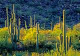 Saguaro Forest, Organ Pipe Cactus National Monument, AZ