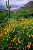 Mexican gold poppies, lupines, and cactii, Organ Pipe Cactus National Monument, AZ