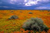 Poppies, goldfields, and sagebrush. Antelope Valley, CA