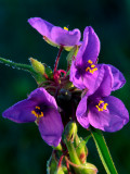 Spiderwort, Illinois Beach State Park, Lake County, IL
