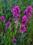 Paintbrush, grasses, and yucca, Bear Mountain Meadow, near Sedona, AZ