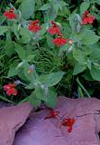 Monkey flowers, West Fork of Oak Creek Canyon AZ