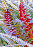 (CR28) Frosted grasses, Red Mountain Pass, CO
