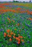 (TW13) Texas Paintbrush and Bluebonnets, Burnet County, TX