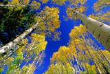 Snow Bowl aspens, Coconino County, AZ