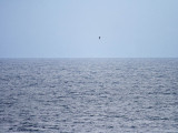 Long-tailed Jaeger at sea