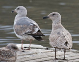 Olympic and Glaucous-winged gulls