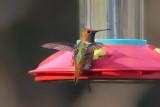 Hummingbird_Allen's