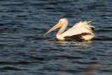 Pelican_American White