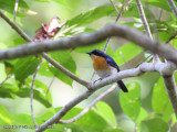 Palawan Blue-flycatcher