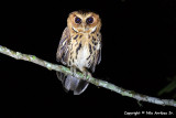 Giant Scops Owl