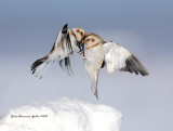 Bruant des neiges (Snow Bunting)