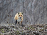 Renard roux(Red Fox)