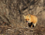 Red Fox (Renard roux)