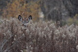 Cerf de Virginie(White-tailed deer)