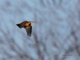 Sturnelle des prés (Eastern Meadowlark)