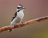 Pic mineur (Downy Woodpecker)