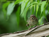 Bruant  chanteur, juv (Song Sparrow)