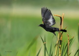 Carouge a épaulettes (Red-winged Blackbird)