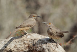 Curve-billed Thrashers, Texan type, pair?