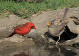 Northern Cardinal, male, and Pyrrhuloxia, female