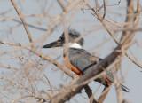 Ringed Kingfisher #3