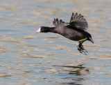 American Coot, flying
