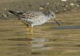 Greater Yellowlegs, breeding plumage
