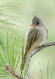 Greater Pewee, male