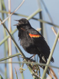 Red-winged Blackbird, singing typical male