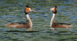 Great Crested Grebes, courting
