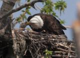 Nesting Bald Eagles -- Anchorage, Alaska, May 2011