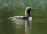 Pacific Loon, breeding plumage