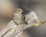 Song Sparrow, juvenile