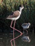 Black-necked Stilts, adult female and downy chick