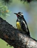 Birds -- Yuba Pass and Sierra Valley, July 2011