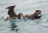Black-footed Albatrosses, fighting over fish