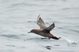 Sooty Shearwater, taking off