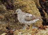 Surfbird, partial breeding plumage
