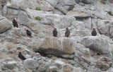 Tufted Puffins, at nest sites on cliff