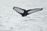 Humpback Whale, flukes