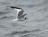 Birds -- Monterey Bay pelagic, August 28, 2011